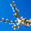 Cherry tree — Stock Photo #8815021