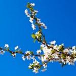 körsbärsträd — Stockfoto