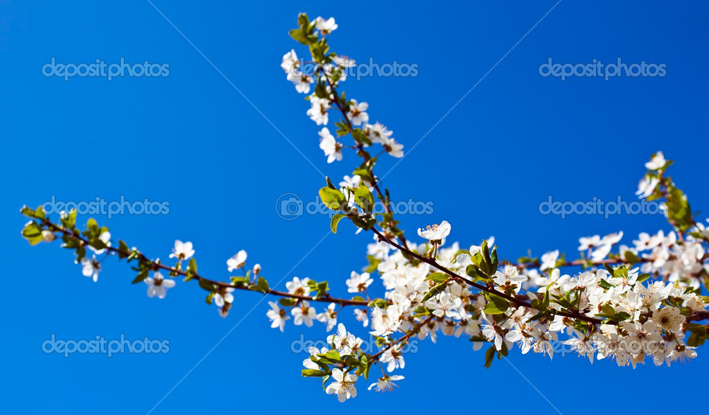 Cherry tree over blue sky — Stock Photo #8815021