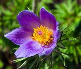 Sleep flower — Stock Photo