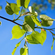 Stock Photo: Linden leaves