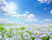 Forget-me-not field — Stock Photo
