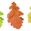 Oak tree leaf — Stock Photo