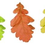 Oak tree leaf — Stock Photo