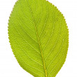 Stock Photo: Chokeberry leaf