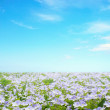 Forget me not flower field - Stock Photo