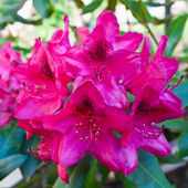 Violet rhododendron — Stock Photo