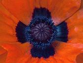 Field poppy — Stock Photo