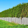 Thuja wall — Stock Photo