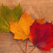 Maple leaves — Foto Stock