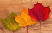 Three maple leaves — Stock Photo