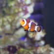 Clown fish — Stock Photo #9380897