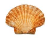 Shell — Stock Photo