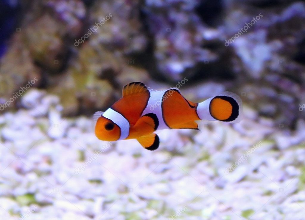 Clown fish stock photo mexrix 9380908 for Clown fish size