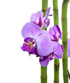 Orchid and bamboo — Stock Photo