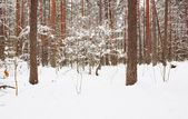 Forêt en hiver — Photo