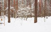 Skogen på vintern — Stockfoto