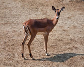 Gazelle — Stock Photo