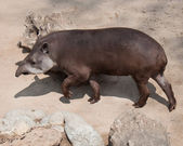 American tapir (Tapirus terrestris) — Stock Photo