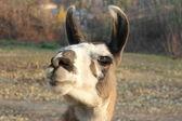 Animal Llama — Stock Photo
