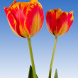 Beautiful red-yellow tulips on blue sky as a background — Stock Photo