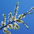 Blossoming cherry — Stock Photo #10496784