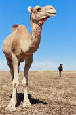Lone Camel in the Desert with blue sky — Stock Photo