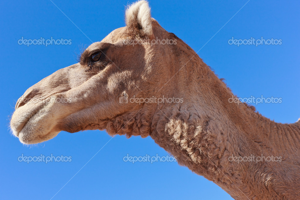 Lone Camel in the Desert with blue sky — Stock Photo #8248911