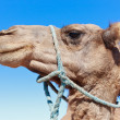 Royalty-Free Stock Photo: Lone Camel with blue sky