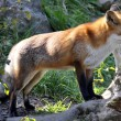 Fuchs im Gehege — Stock Photo