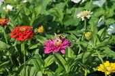 Falter auf Blume — Stock fotografie