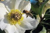 Biene im anflug — Zdjęcie stockowe