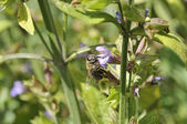 Biene an Blüte — Foto de Stock