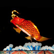 Stock Photo: Chinese lantern Fish