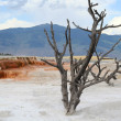 Yellowstone. Dead tree. — Stock Photo