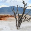 Yellowstone. Dead tree. - Stock Photo