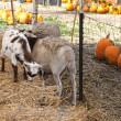 Farm animals and pumpkins - Stock Photo