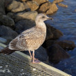Herring gull — Stock Photo