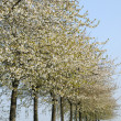 France, flowering trees in Aincourt — Stockfoto