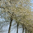 France, flowering trees in Aincourt — Stock Photo