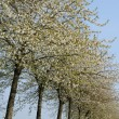 France, flowering trees in Aincourt — Stock Photo #10062332