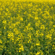 Yvelines, a field of rape in spring — Stock Photo
