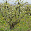 Ile de France, Vernouillet orchard in springtime — Stockfoto