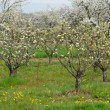 Ile de France, Vernouillet orchard in springtime — Stock Photo
