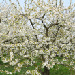 Ile de France, Vernouillet orchard in springtime — 图库照片