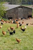 Francia, avicultura en brueil en vexin — Foto de Stock