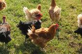 Frankrijk, pluimveehouderij in brueil nl vexin — Stockfoto
