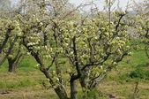 Ile de France, Vernouillet orchard in springtime — Stock Photo