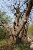 Vernouillet, old trees in rue du Bois de l Aulnay — Stock Photo