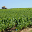 France, the vineyard of Sauternais in summer — Stockfoto